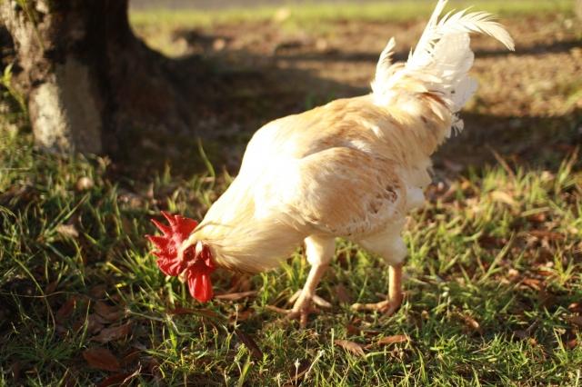 健康的で体にいい、安全な鶏肉の選び方